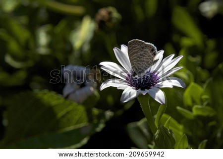 The Marine Blue or Striped Blue (Leptotes marina) is a butterfly of the Lycaenidae family. It is found in from South America through Mexico up to Southern Texas, Arizona and California. - stock photo