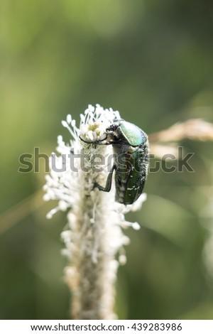 The may-bug eats flower food macro shooting - stock photo