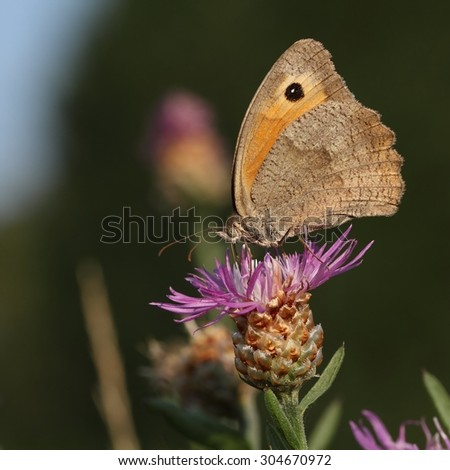 The Meadow brown (Maniola jurtina) are sitting on the flower. - stock photo