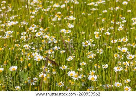 The meadow of spring white wild daisies - stock photo