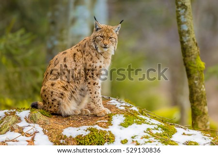 The medium sized Eurasian lynx (Lynx lynx) is native to Siberia, Central, East, and Southern Asia, North, Central and Eastern Europe. Resting in winter landscape in natural forest habitat
