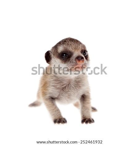 The meerkat or suricate cub, 2 weeks old, on white - stock photo