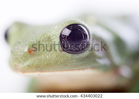The Mexican leaf frog