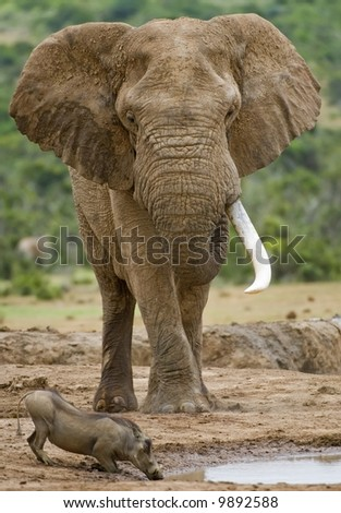 The Mighty Elephant towers over a Warthog at a waterhole - stock photo