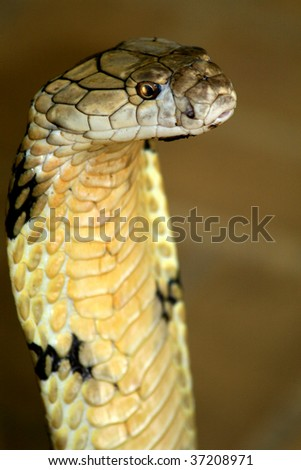 The mighty king cobra-One of the most poisonous snakes in the world. - stock photo