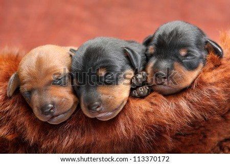 The Miniature Pinscher puppies, 5 days old - stock photo