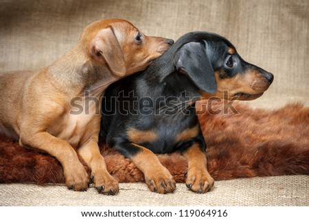 The Miniature Pinscher puppies, 2 months old - stock photo