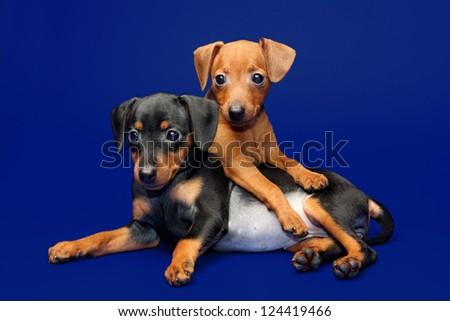 The Miniature Pinscher puppies, 2 months 1 week old - stock photo