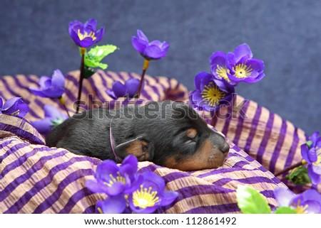 The Miniature Pinscher puppy, 5 days old - stock photo