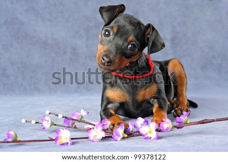 The Miniature Pinscher puppy, 2.5 months old - stock photo