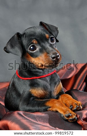 The Miniature Pinscher puppy, 2.5 months old