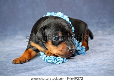 The Miniature Pinscher puppy, 3 weeks old