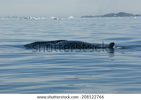 The minke whale in the Southern Ocean - stock photo