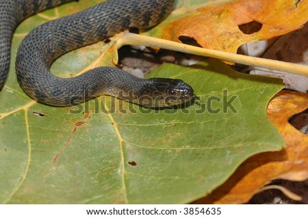 The Mississippi Green Watersnake is a threatened species in much of it's natural range. - stock photo