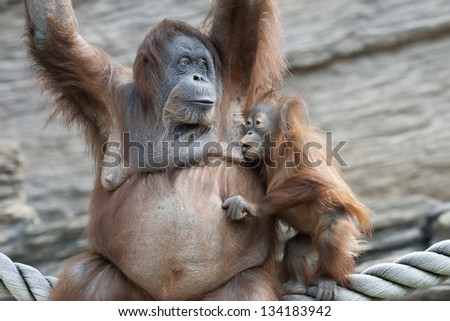 The moment of foretaste. Orangutan mother and her sucker baby.
