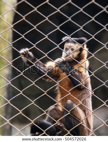 The monkey was kept in a cage.