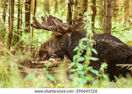 The moose, Alces alces, is the largest living deer. Close up of male or bull lying down among the trees in the forest. Velvet on antlers. - stock photo