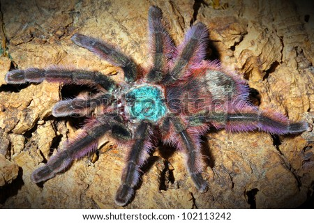 The most beautiful tarantula species in the WORLD! The Martinique Bird Eater! - stock photo