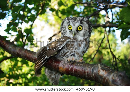 The most impressive eyes in world (nightmare). Goddess of wisdom Pallas Athena. Tengmalm's owl (Aegolius funereus) on a tree branch in different poses