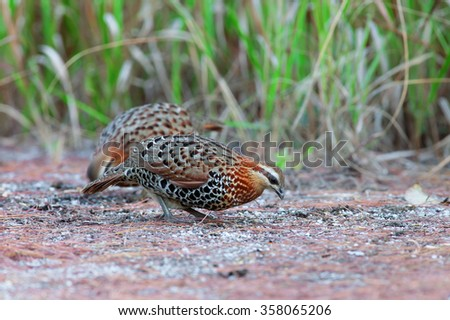 The mountain bamboo partridge (Bambusicola fytchii) is a species of bird in the Phasianidae family. It is found in Bangladesh, Tibet, India, Laos, Myanmar, Thailand, and Vietnam. - stock photo