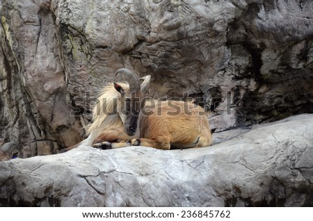 the mountain goat is sitting in on a rocky mountain - stock photo