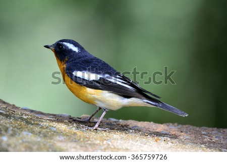 The mugimaki flycatcher (Ficedula mugimaki) the beautiful black bird with orange to yellow belly and white brow standing on the rock with nice far green background - stock photo