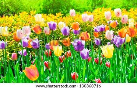 The multicolored tulips, spring day - stock photo