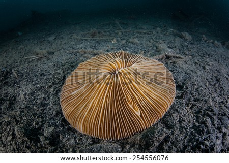 The mushroom coral (Fungia sp.) grows on a mucky bottom in Palau, Micronesia. Mushroom corals are solitary and do not fuse into Pacific reefs where they live. - stock photo