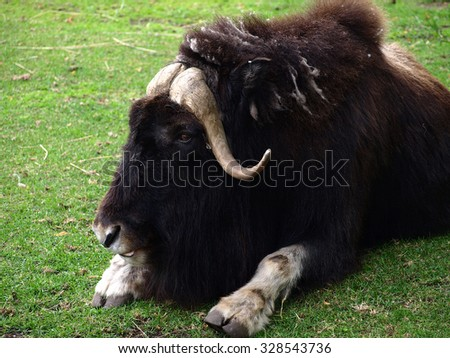 The muskox (Ovibos moschatus, also spelled musk ox and musk-ox) is having a rest on the green grass - stock photo
