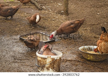 The musky duck. The maintenance of musky ducks in a household. - stock photo