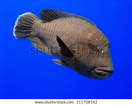 The Napoleon wrasse is known by many names, including Maori wrasse, humphead wrasse and Napoleonfish. - stock photo