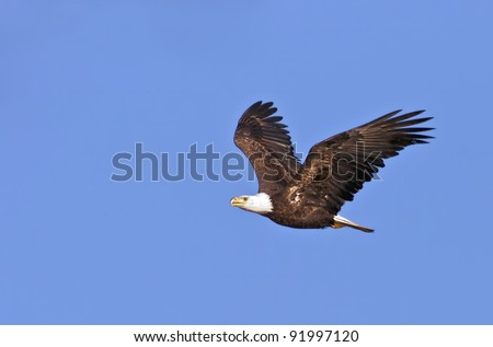 The national bird of the United States, the Bald Eagle, in flight against a blue sky background. - stock photo