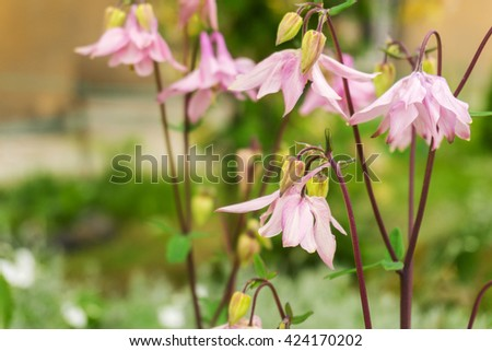 The natural background. Delicate pink flowers close-up. Spring flowers. - stock photo