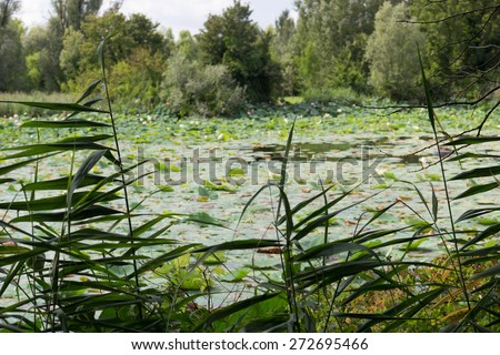 "The natural reserve ""Parco del loto"" Lotus green area in Italy: a wide pond in which lotus flowers (nelumbo nucifera) and water-lilies grow freely creating a beautiful natural environment. - stock photo"