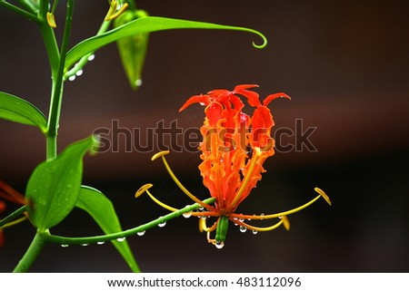 The Nature Of Climbing Lily Flower.