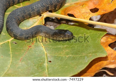 The Nerodia cyclopion is an endangered water snake found in wetlands and swamp of the southeastern United States. - stock photo