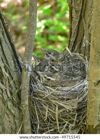 The nest of red-wing on a tree. - stock photo