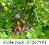 The nest of the Lesser Whitethroat (Sylvia curruca) in gooseberry bush. - stock photo