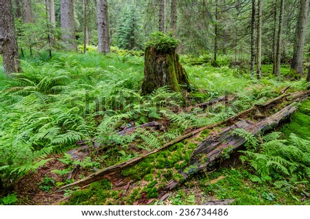 The new green growth coming through on an old cut down tree trunk - stock photo