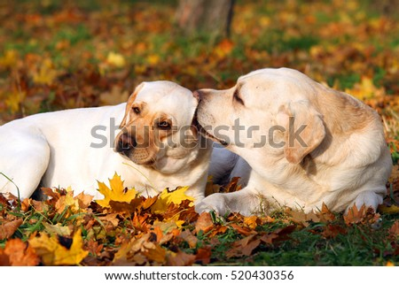 the nice two yellow labradors in the park in autumn
