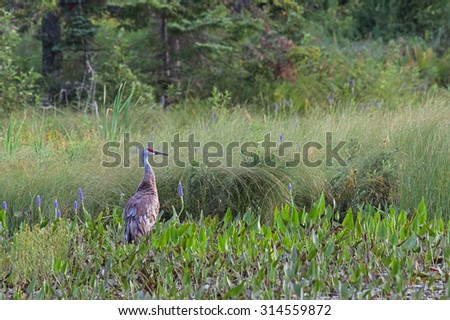 The noble sandhill crane; crimson capped, grayed bodied and rust colored rump feathers, stands out in a marsh filled along side the purple hues of pickerel weed flower.