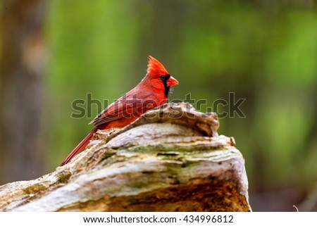 The northern cardinal is a North American bird in the genus Cardinalis it is also known colloquially as the redbird or common cardinal. During courtship, the male feeds seed to the female beak-to-beak - stock photo