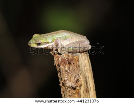 The northern dwarf tree frog, is a small species of tree frog native to northern Australia, from the Kimberly region of Western Australia to Bowen, Queensland, and Aru Islands of Indonesia. - stock photo