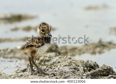 The Northern lapwing young chick. The one chick of Northern lapwing (Vanellus vanellus). The Northern lapwing or peewit young bird. - stock photo