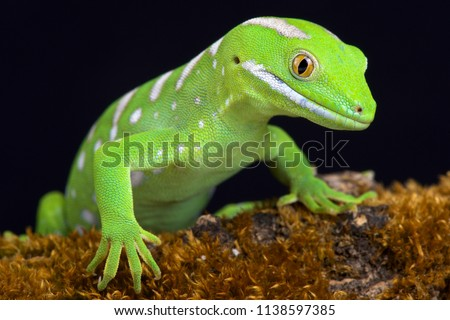 The Northland green gecko or Gray's tree gecko (Naultinus grayii ) is a species of gecko. The species is found only in the Northland region of New Zealand, north of Whangaroa; it is one of the rarestl