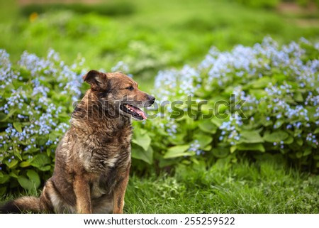 The old brown gray dog sitting on the lawn in front of blue flowers - stock photo