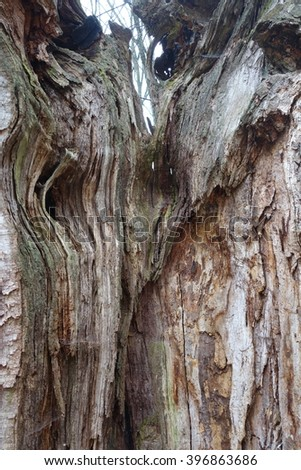 The old oak tree, the nitty gritty of the tree - stock photo