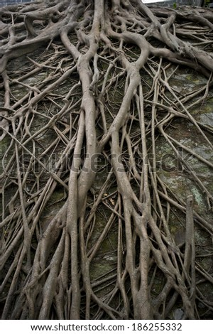 The old tree root grown on the ancient Guangzhou city wall - stock photo