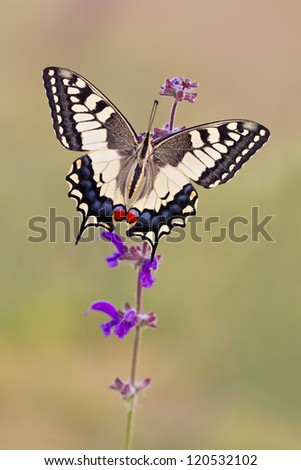 The Old World Swallowtail butterfly (Papilio machaon) - stock photo