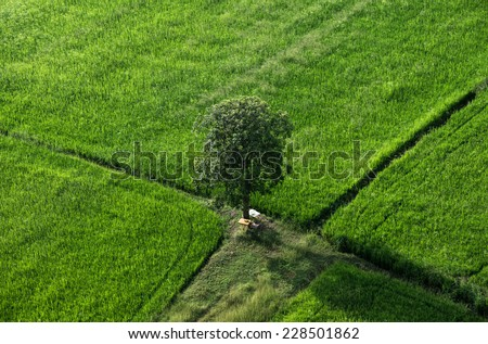 The one tree in rice  field - stock photo